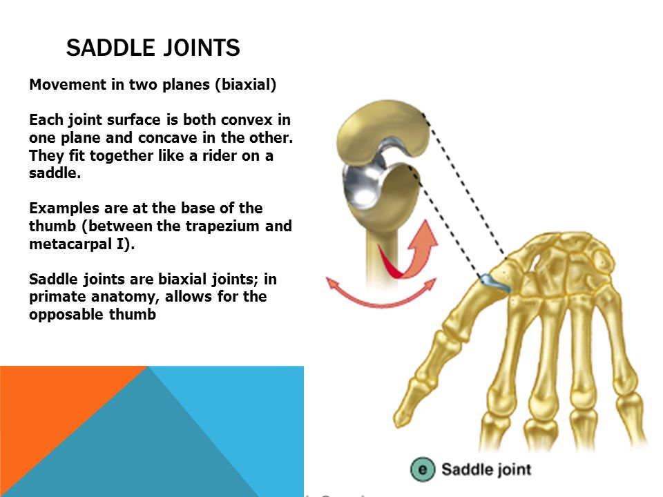 Unique Saddle Joints Image Collection Anatomy And Physiology