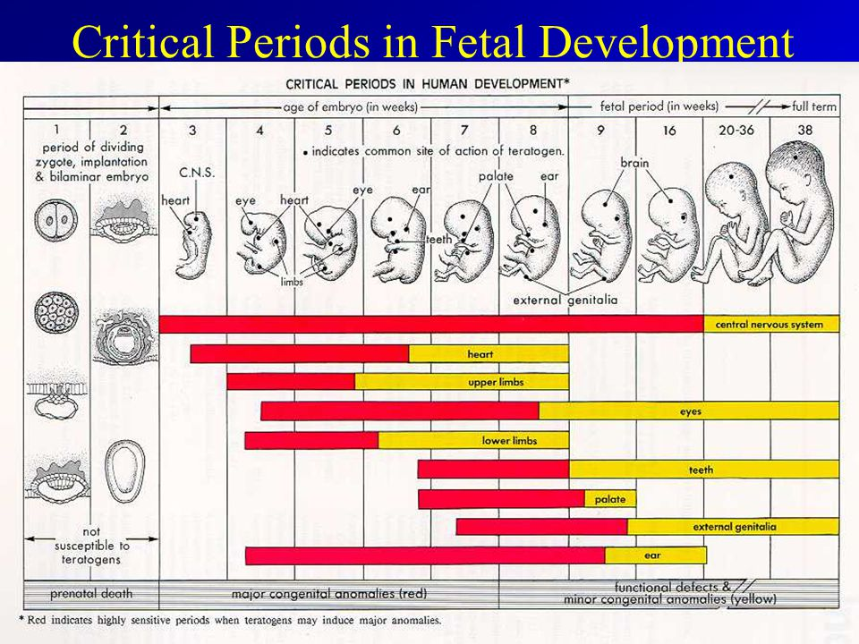 Image result for periods of fetal development