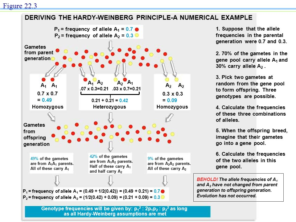 Figure 22.3 DERIVING THE HARDY-WEINBERG PRINCIPLE-A NUMERICAL EXAMPLE