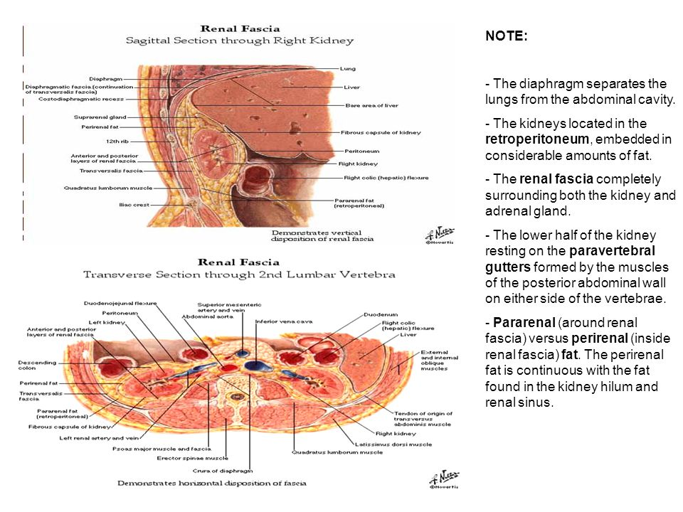 Renal Anatomy Histology Correlate Ppt Video Online Download