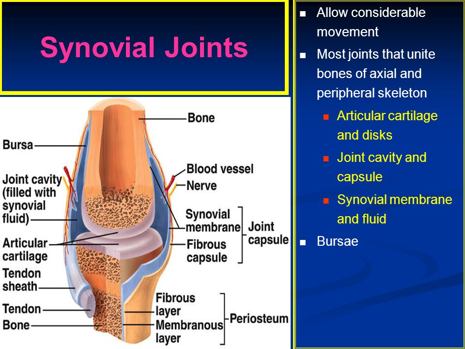 Synovial Joints Allow considerable movement