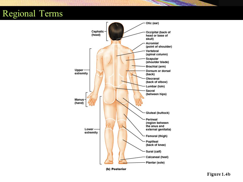 Surface Anatomy Terms Choice Image - human body anatomy