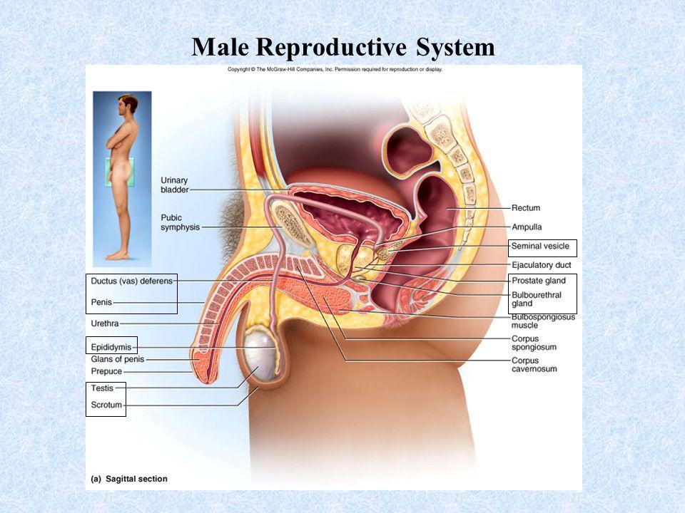 Unit V Development Male Reproductive System Ppt Download