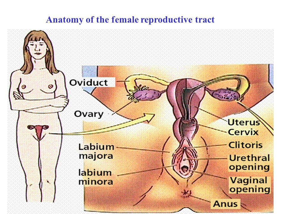 The female genital tract is specifically designed to: - ppt video ...