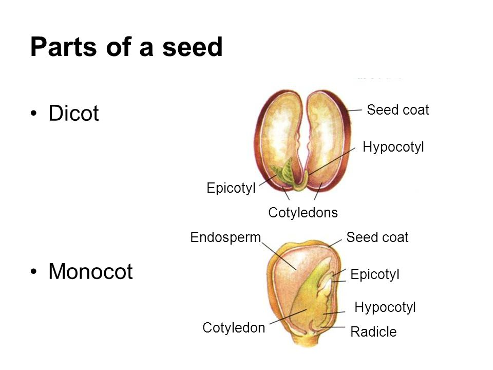 dicot seed diagram and function wiring diagrams control Monocot and Dicot Seed Diagram dicot seed diagram and function wiring diagrams thumbs seed embryo dicot seed diagram and function