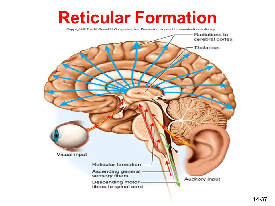 the reticular formation Extent of reticular formation: the reticular formation is situated in brain stem, and extends downwards into spinal cord and upwards up to thalamus and sub thalamus 6 neuronal aggregates.
