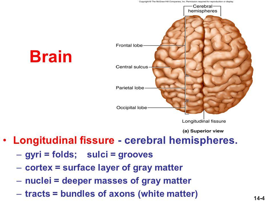 Brain Surface Anatomy Choice Image - human body anatomy