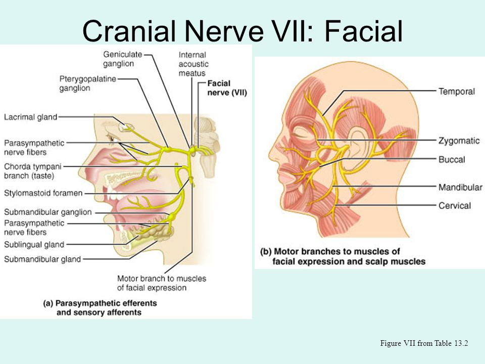 Exelent Seventh Cranial Nerve Anatomy Gallery - Anatomy And ...