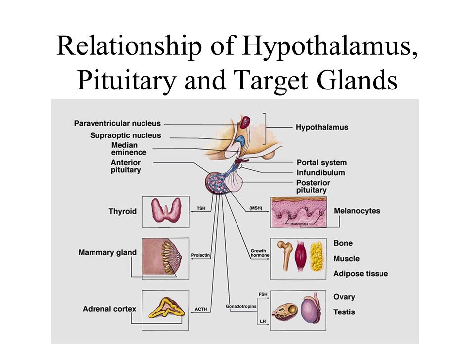 Relationship of Hypothalamus, Pituitary and Target Glands