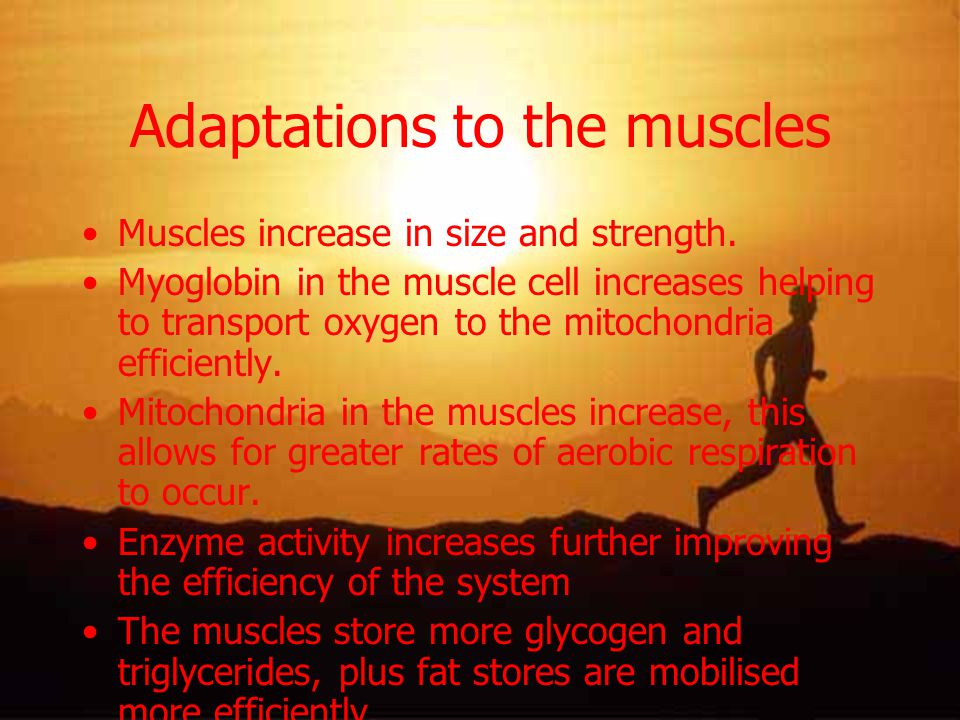 Adaptations to the muscles