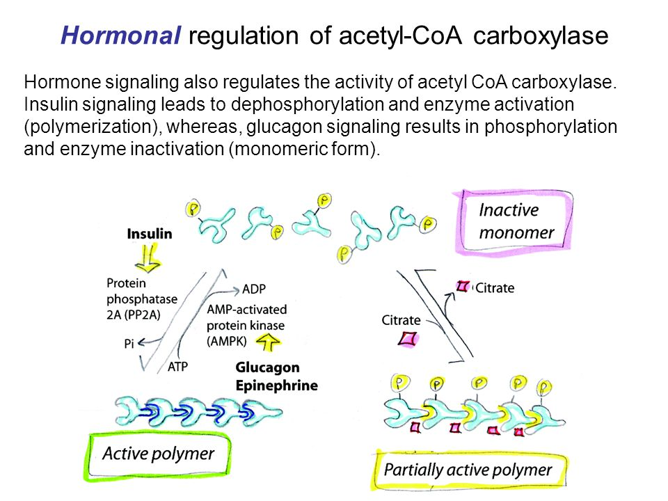 lipid metabolism 2 acetylcoa carboxylase fatty acid