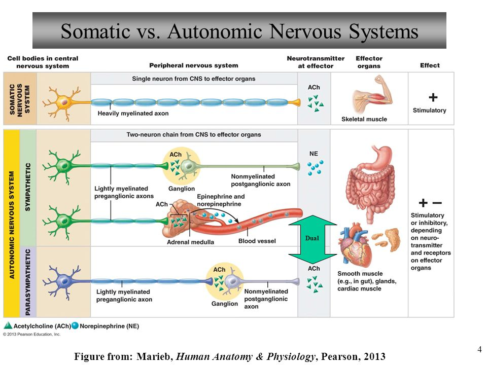 nervous system notes anatomy and physiology pdf
