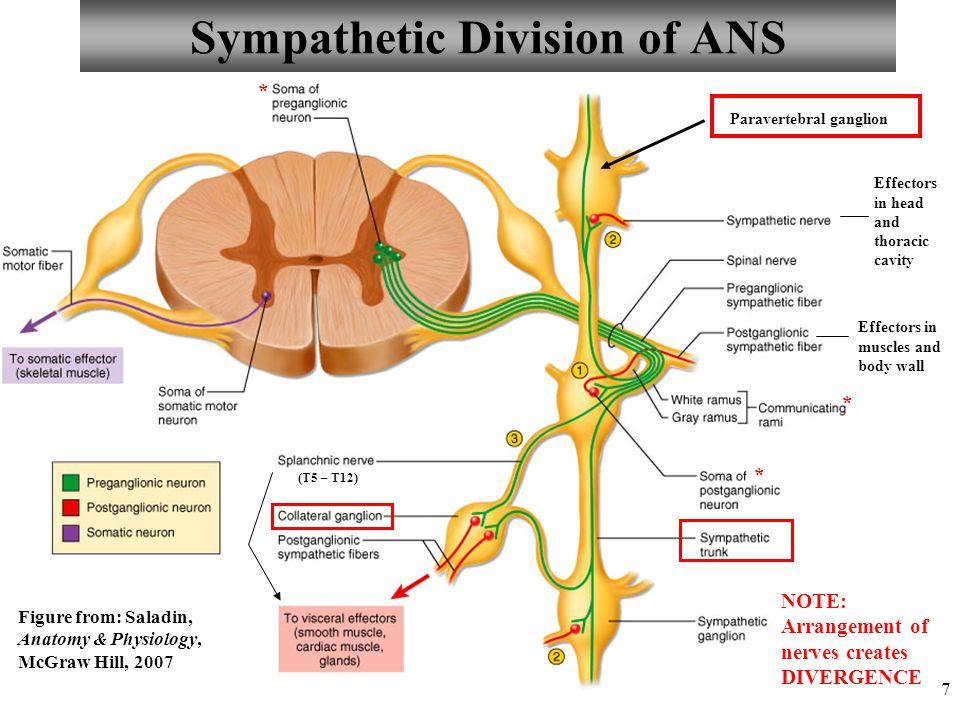 Magnífico Ans Anatomy And Physiology Ilustración - Anatomía de Las ...