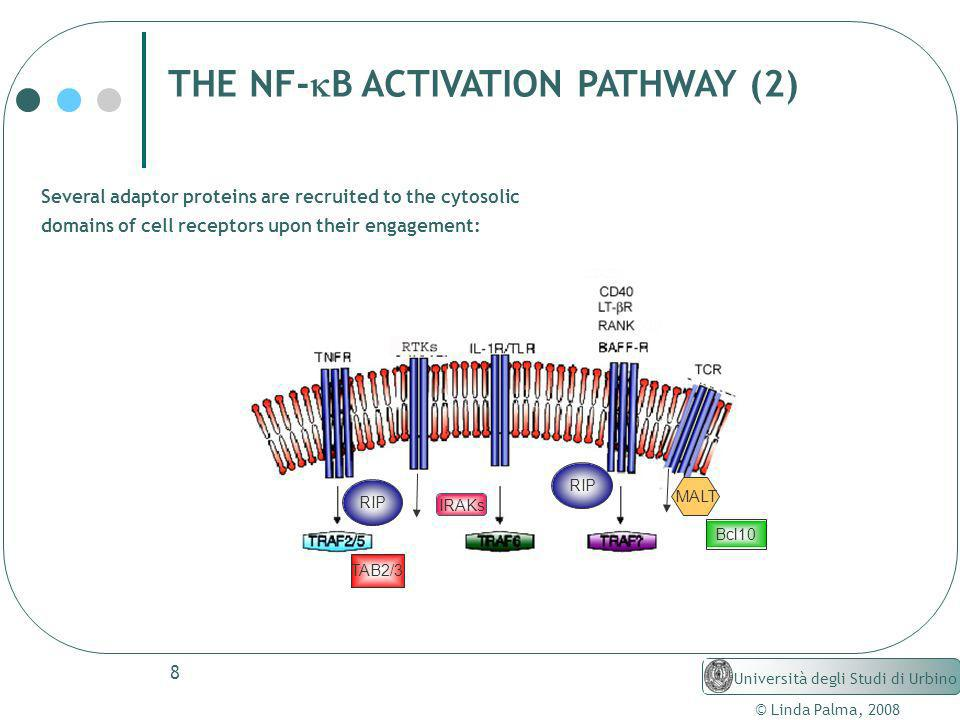 THE NF-kB ACTIVATION PATHWAY (2)