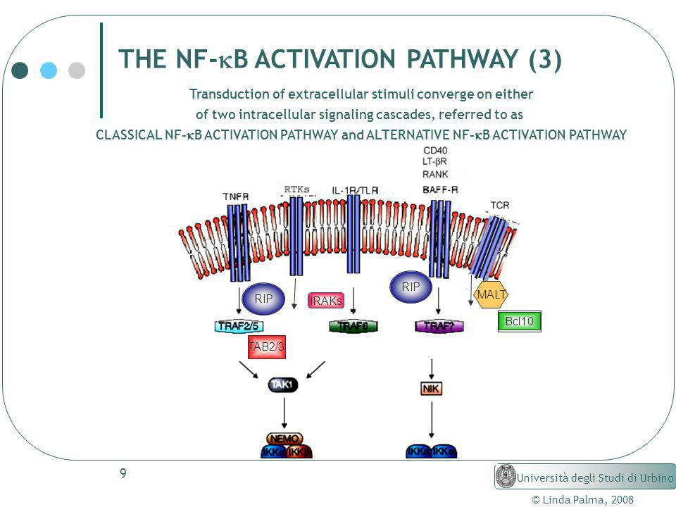THE NF-kB ACTIVATION PATHWAY (3)