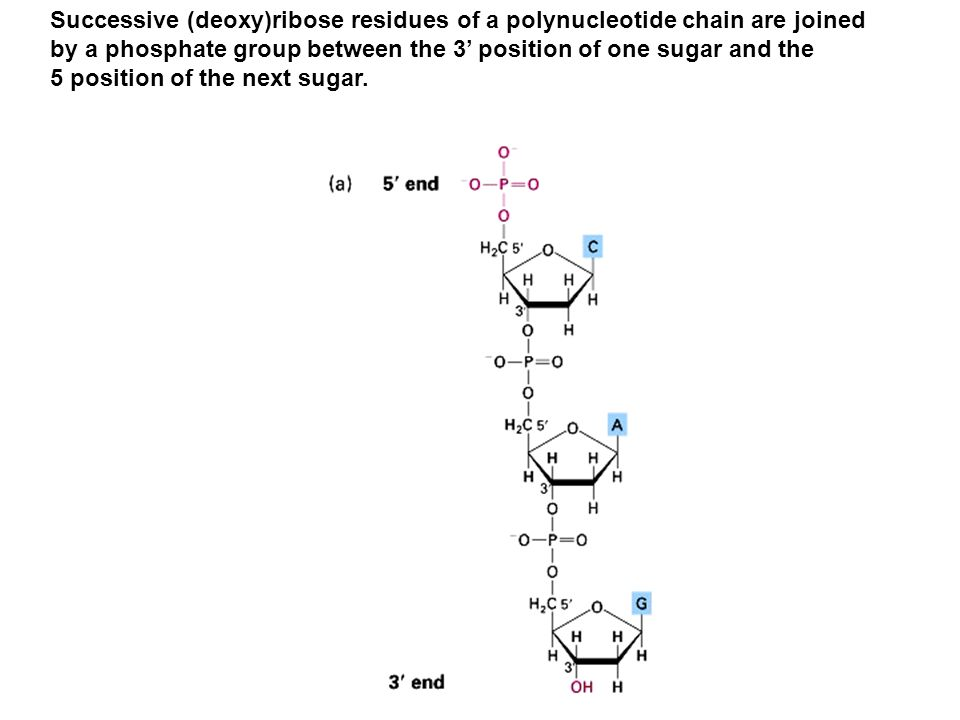 Successive (deoxy)ribose residues of a polynucleotide chain are joined
