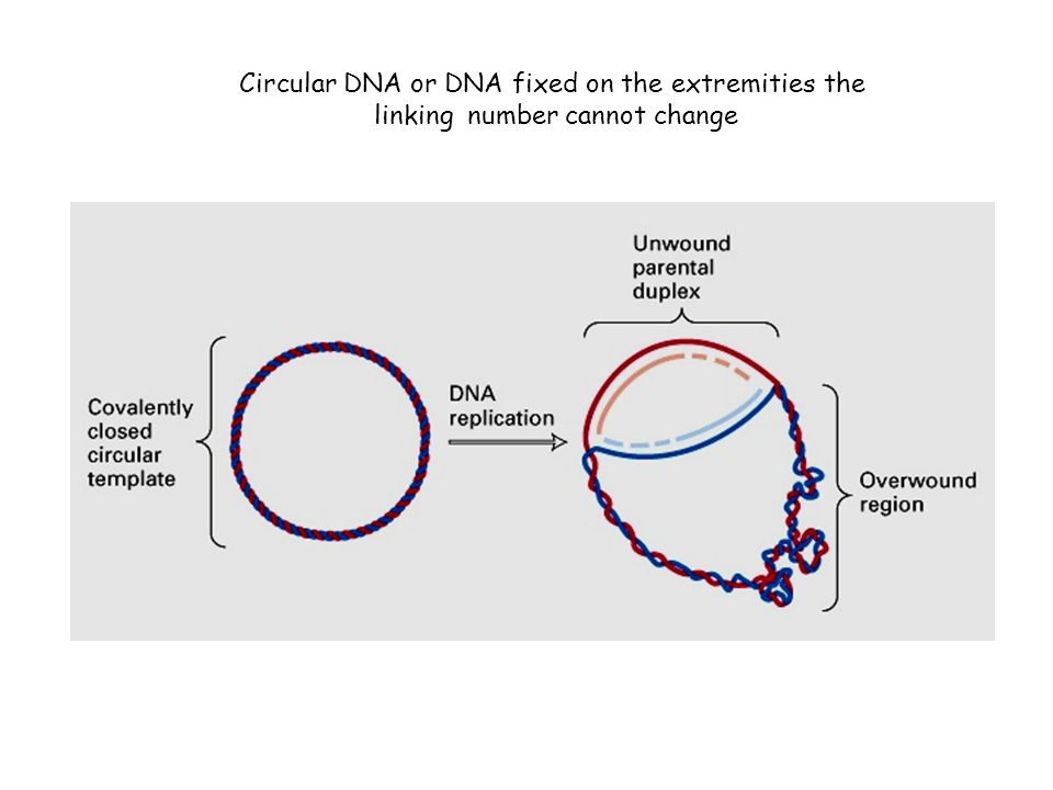 Circular DNA or DNA fixed on the extremities the
