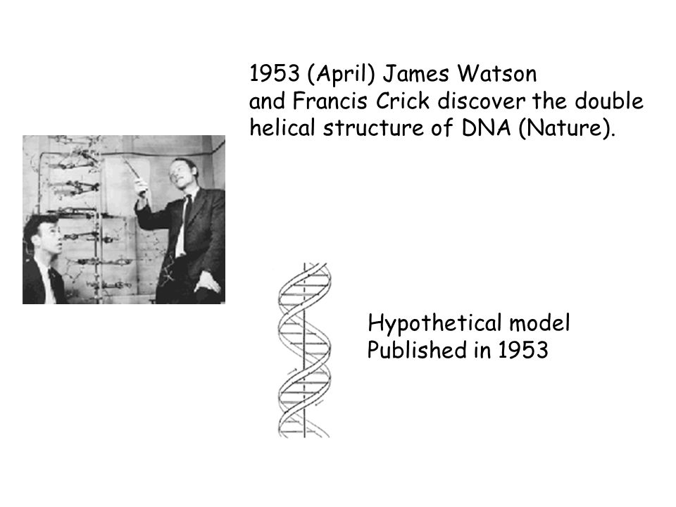 1953 (April) James Watson and Francis Crick discover the double. helical structure of DNA (Nature).