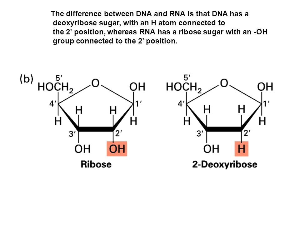 The difference between DNA and RNA is that DNA has a