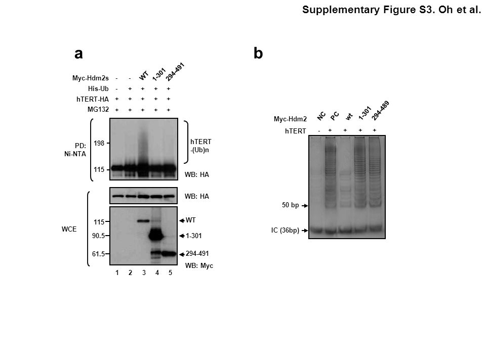 a b Supplementary Figure S3. Oh et al. 294-491 WT 1-301 Myc-Hdm2s