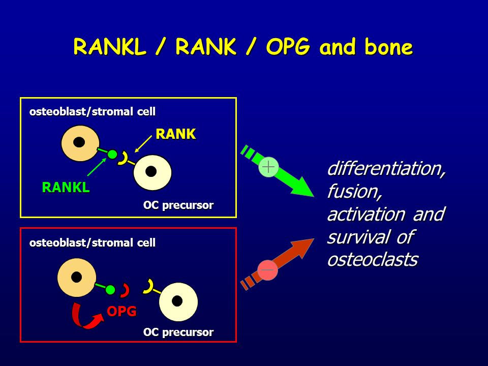 RANKL / RANK / OPG and bone