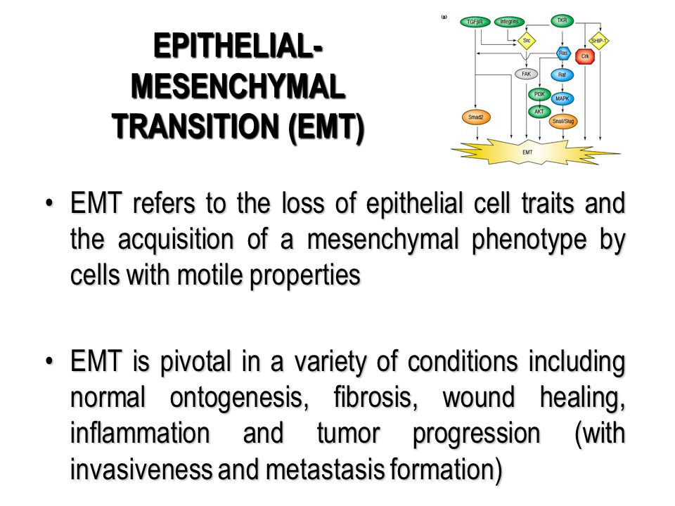 EPITHELIAL-MESENCHYMAL TRANSITION (EMT)
