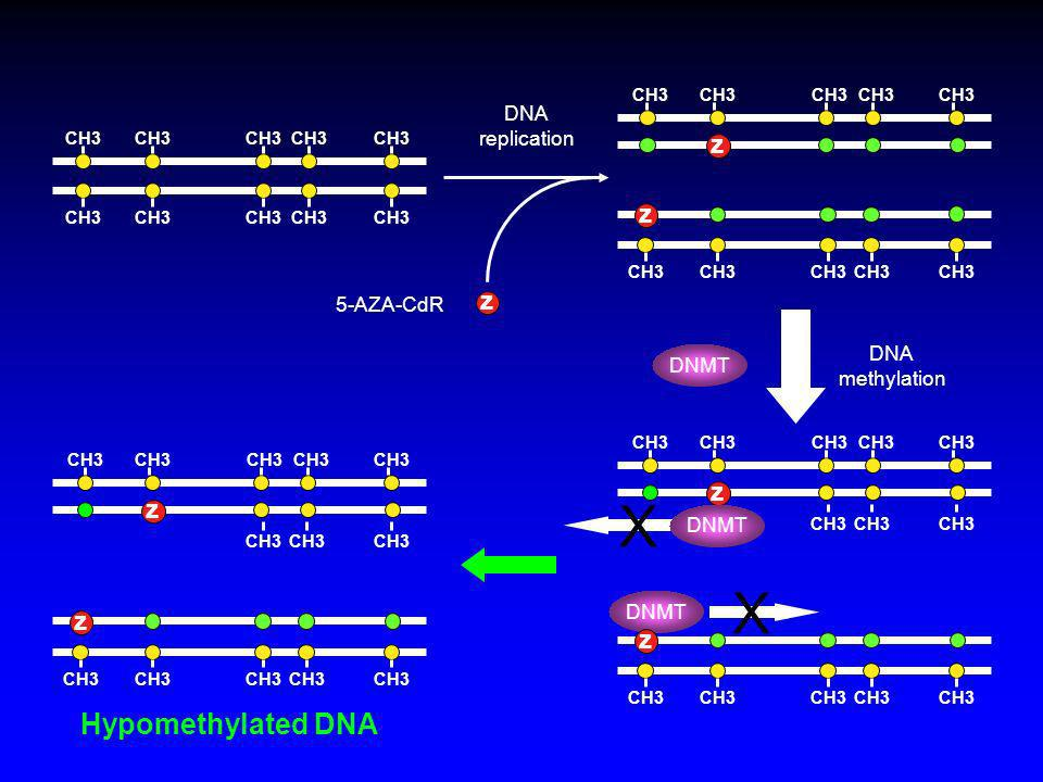 X X Hypomethylated DNA z z z z z z DNA replication 5-AZA-CdR DNA