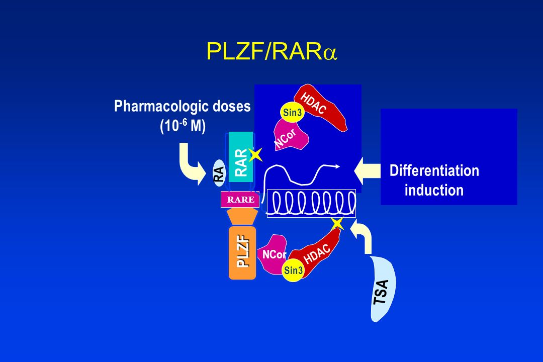 PLZF/RAR Pharmacologic doses Co-repressor (10-6 M) RAR Co-activators