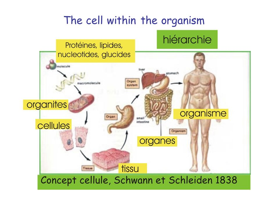 The cell within the organism
