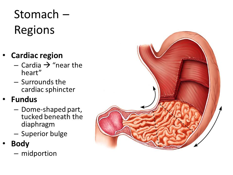 """Stomach Temporary """"storage tank"""" - ppt video online download"""