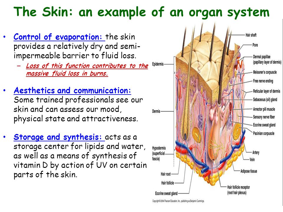 Talk Four Tissues Organs And Organ Systems Chapter 4 Ppt Video