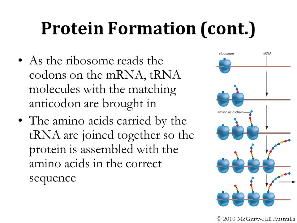 Protein+Formation+%28cont.%29 cell protein production ppt video online download