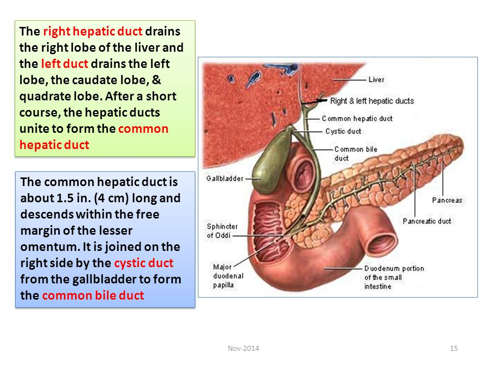 The right hepatic duct drains the right lobe of the liver and the left duct drains the left lobe, the caudate lobe, & quadrate lobe. After a short course, the hepatic ducts unite to form the common hepatic duct