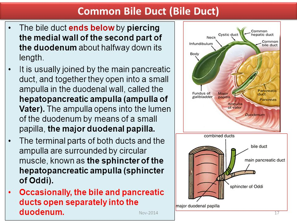 Common Bile Duct (Bile Duct)