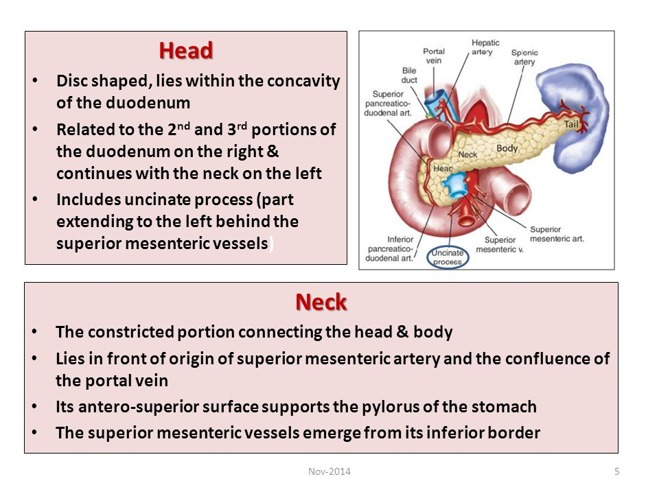 Head Neck Disc shaped, lies within the concavity of the duodenum