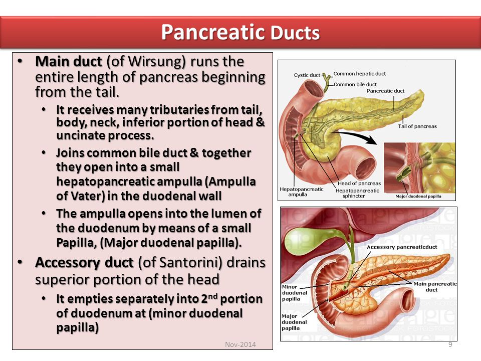 Pancreatic Ducts Main duct (of Wirsung) runs the entire length of pancreas beginning from the tail.