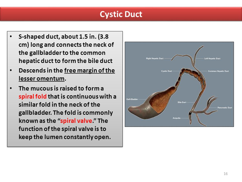 Cystic Duct S-shaped duct, about 1.5 in. (3.8 cm) long and connects the neck of the gallbladder to the common hepatic duct to form the bile duct.