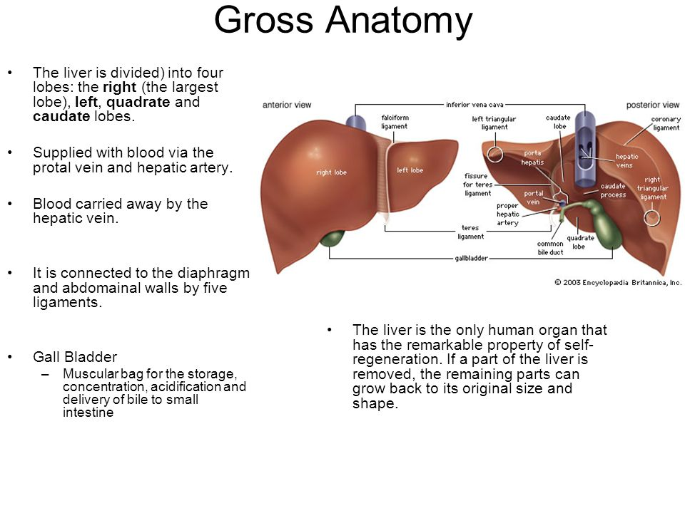 The Liver Lecture Ppt Video Online Download