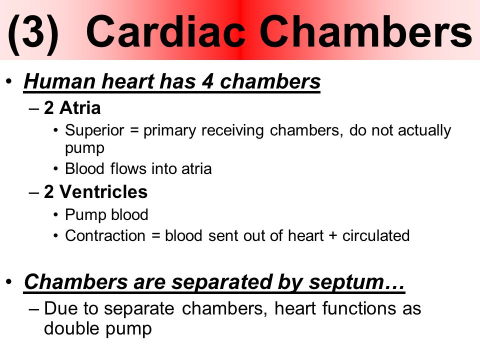 Heart anatomy basic function ppt download 3 cardiac chambers human heart has 4 chambers ccuart Choice Image