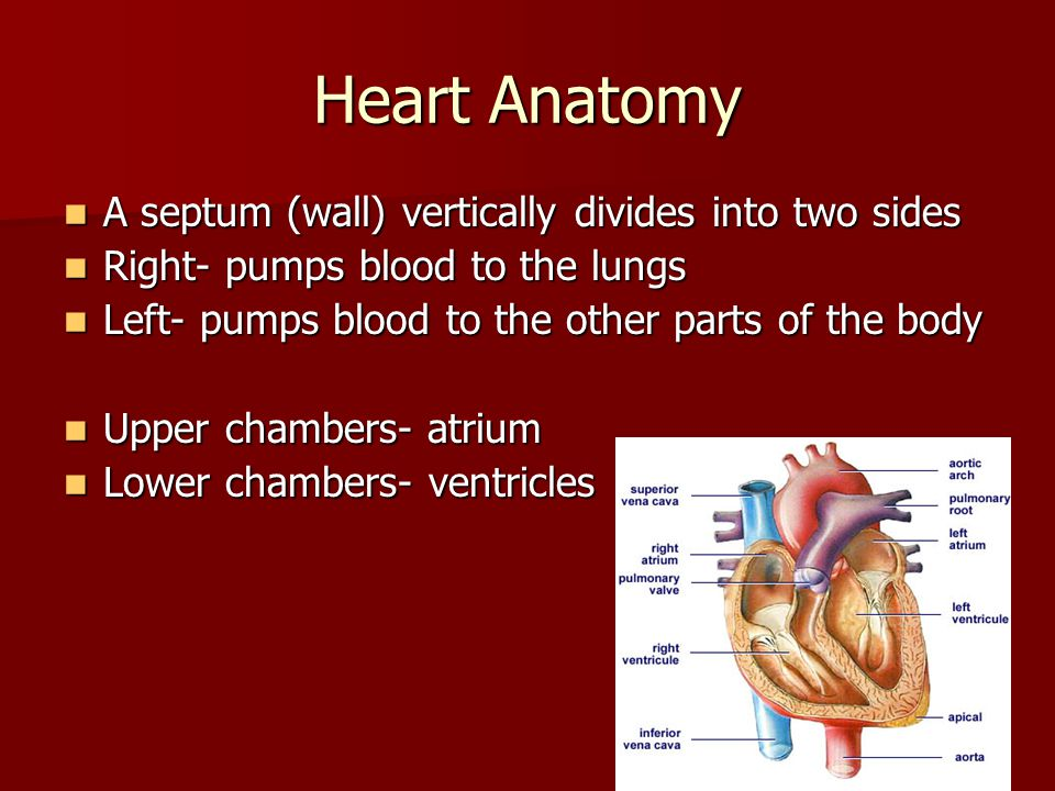 Heart Anatomy A septum (wall) vertically divides into two sides