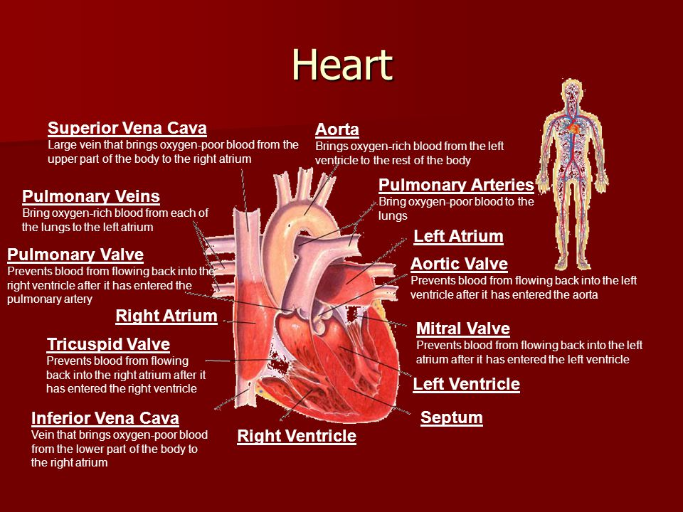 Heart Superior Vena Cava Aorta Pulmonary Arteries Pulmonary Veins