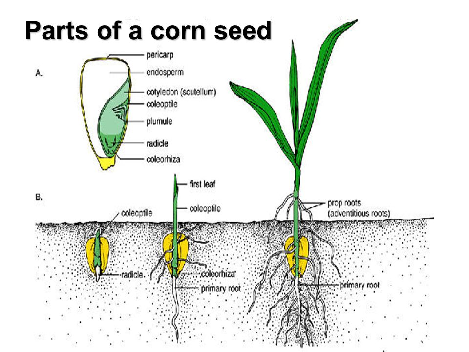 Seeds. - ppt video online download