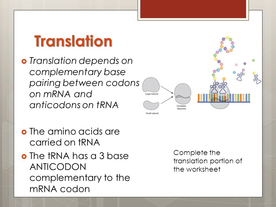 Translation Translation depends on complementary base pairing between codons on mRNA and anticodons on tRNA.
