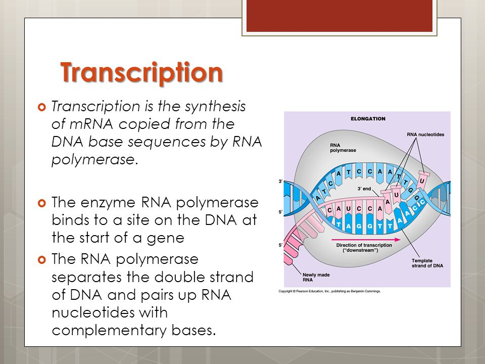 Transcription Transcription is the synthesis of mRNA copied from the DNA base sequences by RNA polymerase.