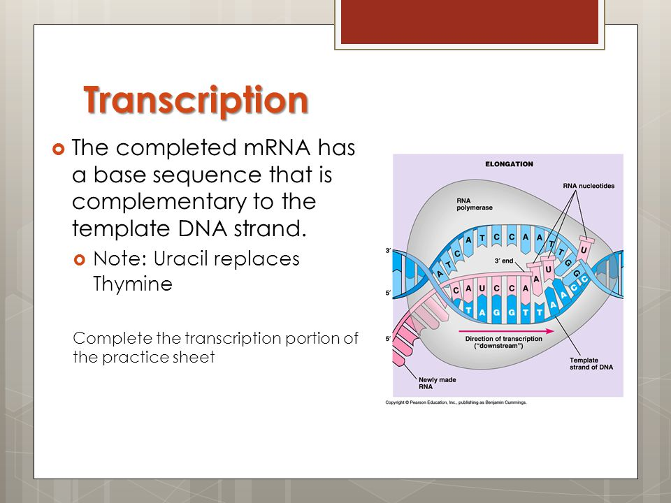 Transcription The completed mRNA has a base sequence that is complementary to the template DNA strand.