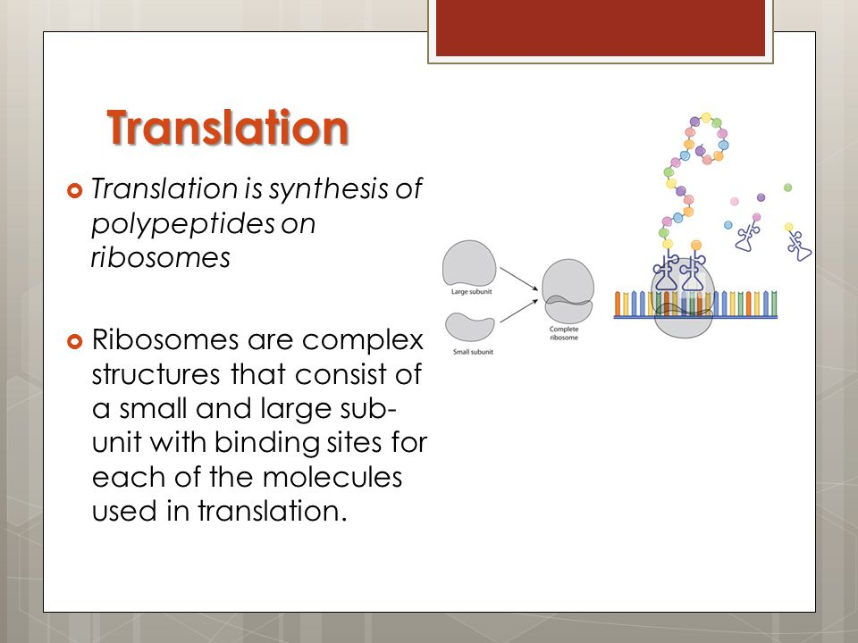 Translation Translation is synthesis of polypeptides on ribosomes