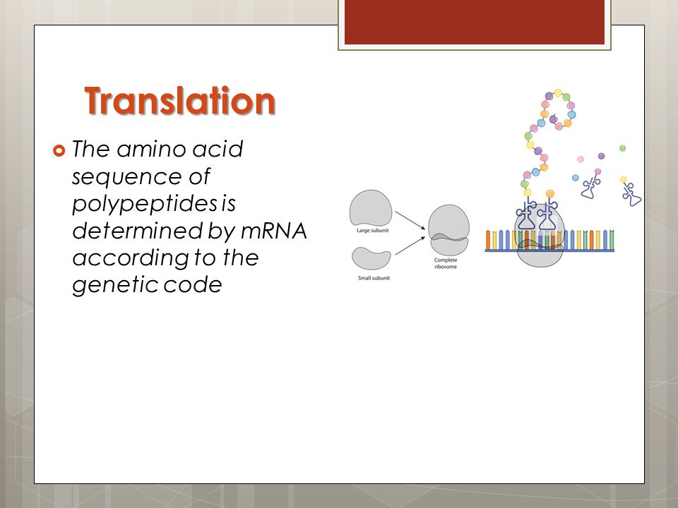 Translation The amino acid sequence of polypeptides is determined by mRNA according to the genetic code.