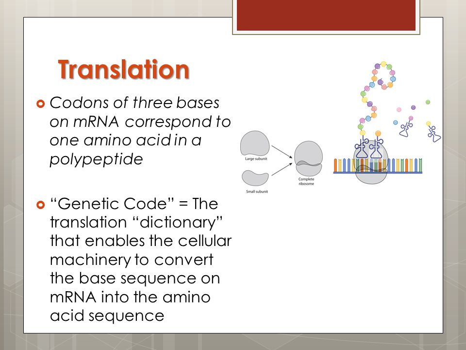 Translation Codons of three bases on mRNA correspond to one amino acid in a polypeptide.