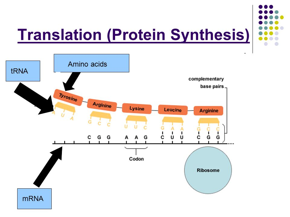 Protein Synthesis Translation Diagram Basic Guide Wiring Diagram