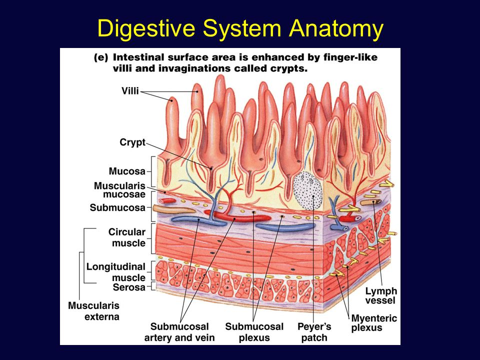 The Digestive system The alimentary canal or gastrointestinal (GI ...